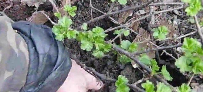 Как размножить крыжовник черенками и отводками?