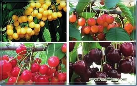 О черешне Овстуженка: описание сорта, посадка и уход, выращивание