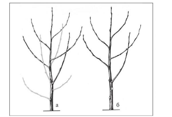 Как обрезать вишню весной: правильный уход, схема подрезки для начинающих