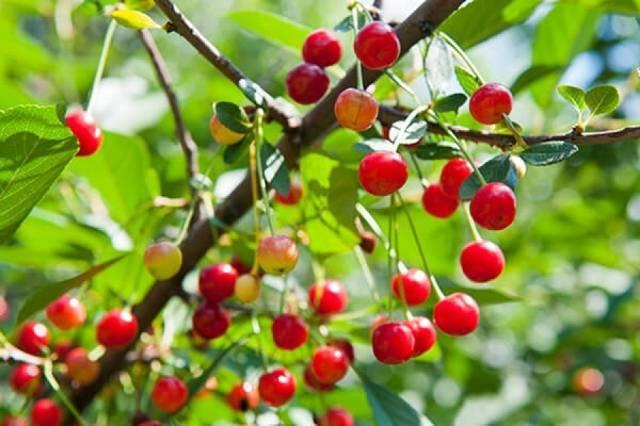 Почему черешня цветет но не плодоносит