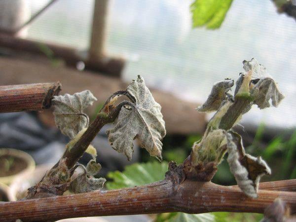 Чем болеет виноград после зимы и как его вылечить