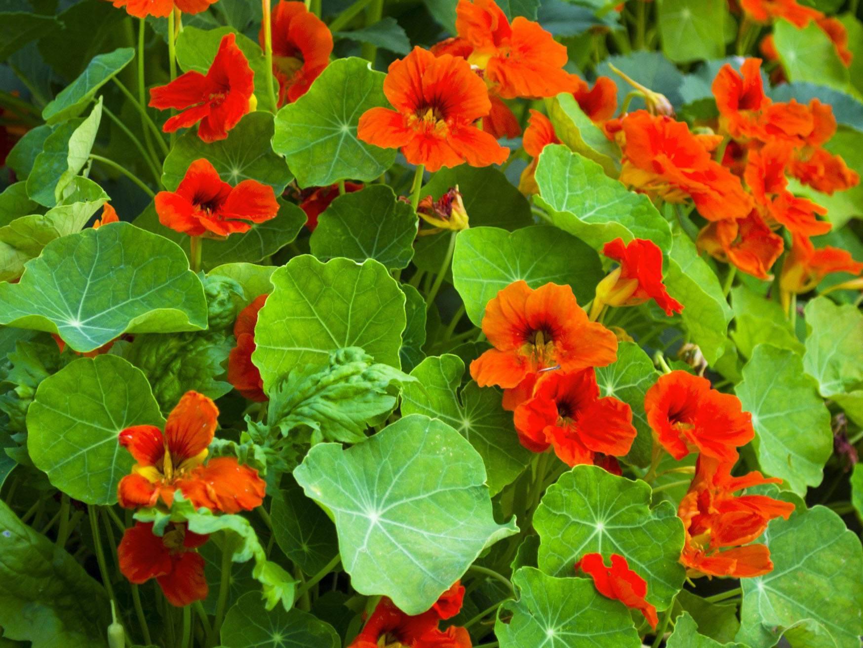 Когда сажать настурцию при выращивании из семян