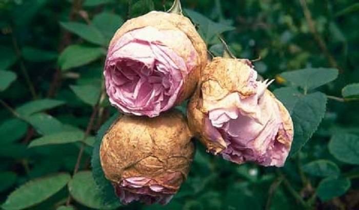 Сохнущие бутоны у нераспустившихся роз: почему и что делать, если вянут и гниют