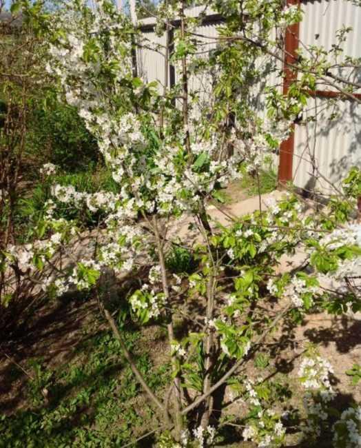 На какой год после посадки начинает плодоносить черешня