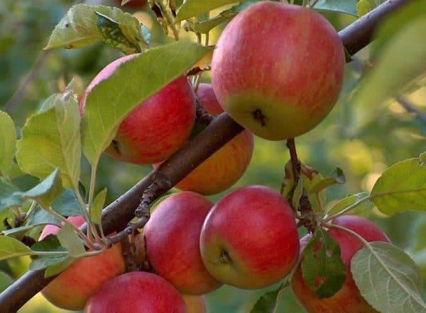 Яблоня мантет: описание сорта, посадка и уход