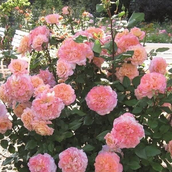 Как правильно ухаживать за розами в саду: правила посадки, обрезки и полива