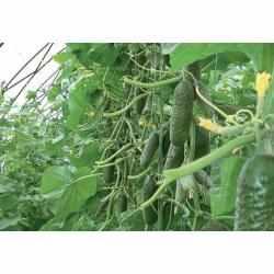 Голландский гибрид огурцов «кибрия f1»: фото, видео, описание, посадка, характеристика, урожайность, отзывы