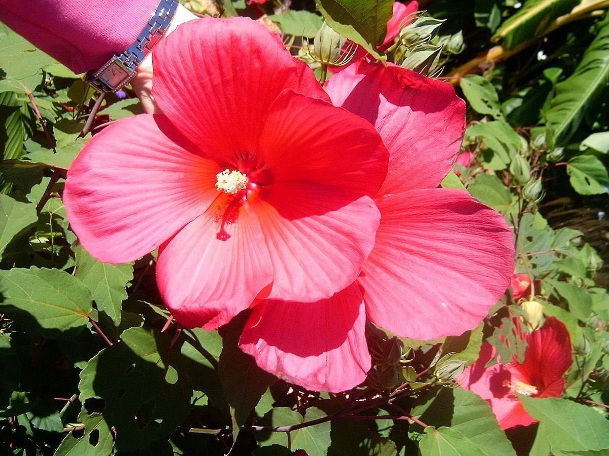 Секрет выращивания суданской розы в домашних условиях