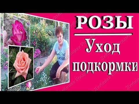 Чем подкормить розы весной - лучшее весенние удобрения и народные средства