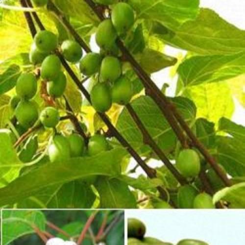 Актинидия: гермафродитный, деликатесный, сентябрьский сорта