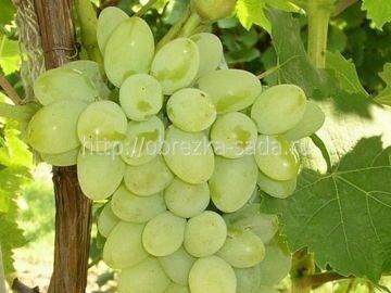 Сорт винограда «плевен»: мускатный и устойчивый («августин»)