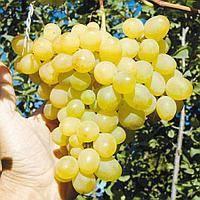 Виноград «восторг» — выращиваем с восторгом