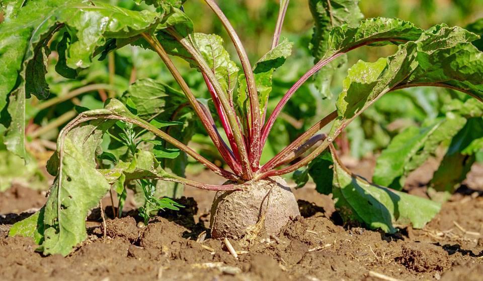 Как посадить свеклу правильно чтобы был хороший урожай
