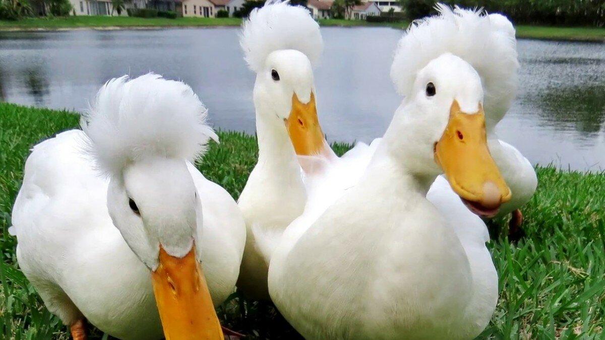 Разведение уток в домашних условиях: особенности выбора птиц, советы по уходу и содержанию (115 фото)