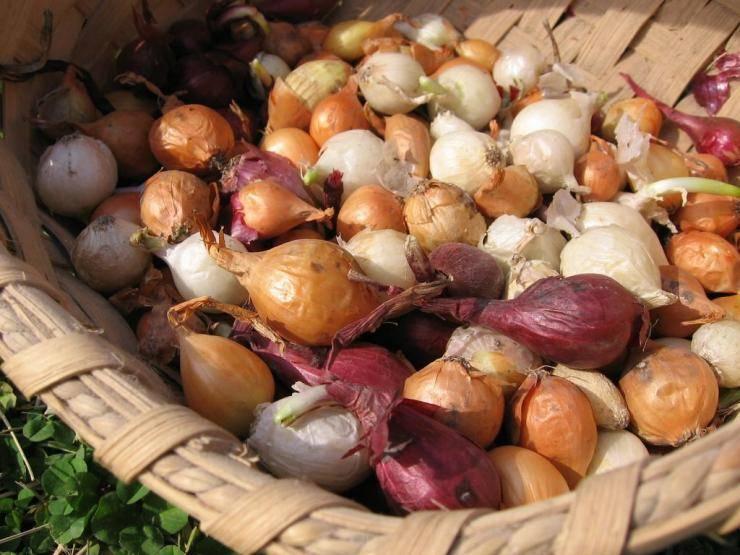 Подготовка лука севка к посадке весной: правила и схемы обработки