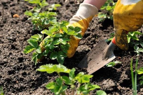 Какие растения полезно высаживать рядом с клубникой?