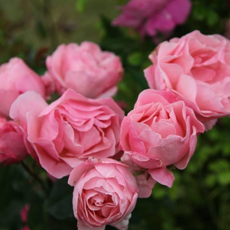Роза флорибунда сорт queen elizabeth (куин элизабет) — отзывы. негативные, нейтральные и положительные отзывы