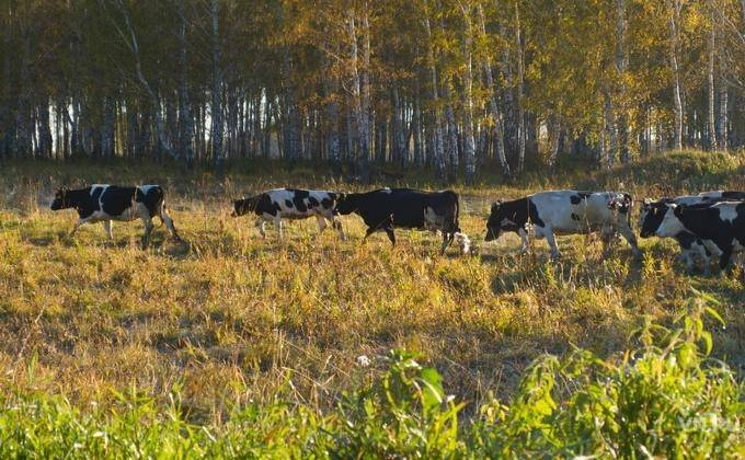 Как передается и чем опасен лейкоз у коров