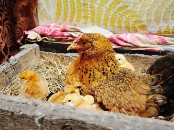 Таблица и схемы пропойки цыплят антибиотиками и витаминами