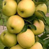 Колоновидная яблоня — «важак» яблонь: посадка, выращивание и уход