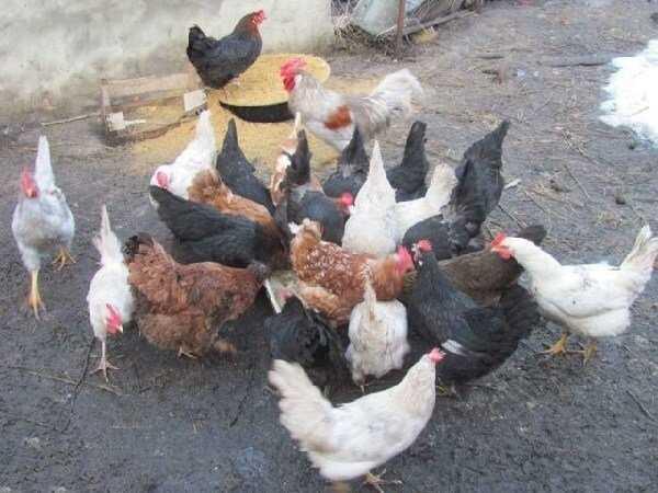 Как содержать бройлеров и несушек  вместе, несут ли цыплята-бройлеры яйца?