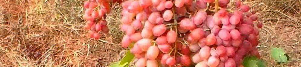 Сорт винограда «гелиос»
