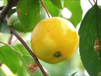 Сорт яблони медовая – описание, фото