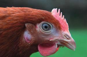 Как определить возраст курицы несушки, как узнать