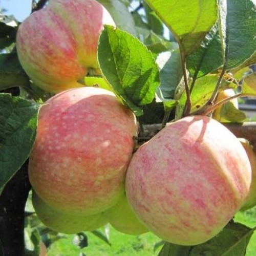 Характеристика и описание сорта яблони «конфетное»