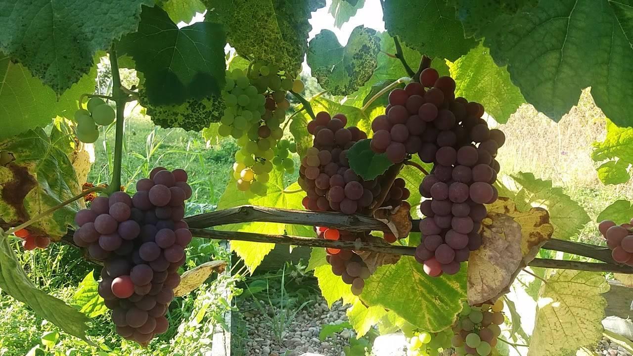Сублима сидлис — сорт винограда