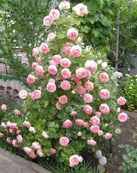 Секреты успешного выращивания плетистой розы розариум ютерсен: фото и отзывы