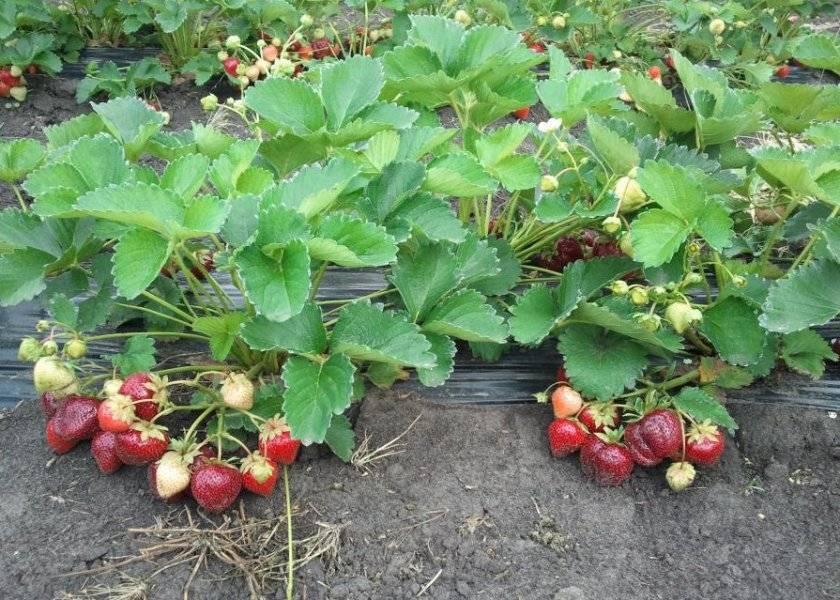 О клубнике мармелада: описание сорта, агротехника посадки и выращивания
