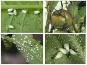 Способы борьбы с мошкой на помидорах