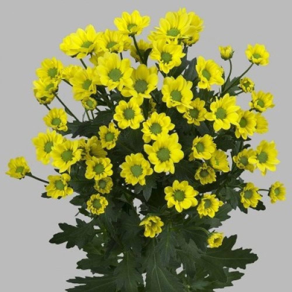 Хризантемы белые, желтые — описание видов и сортов