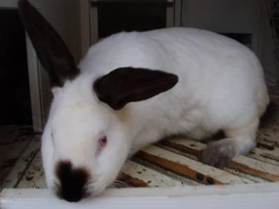 Описание калифорнийского кролика