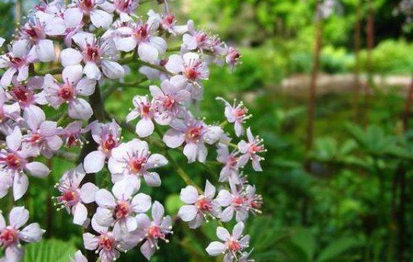Виды бузины для украшения сада: посадка и уход в открытом грунте