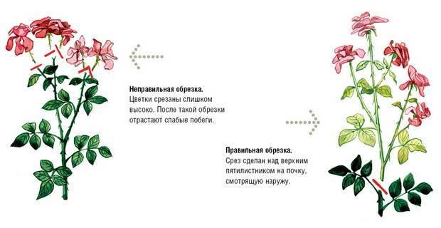 Слепые побеги на розах — что делать, как выглядят