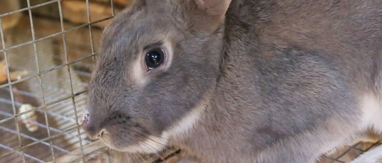 Лечение псороптоза  у кроликов, вызванного ушным клещём