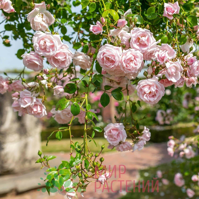 Плетистая роза нью доун: фото описание, отзывы, уход
