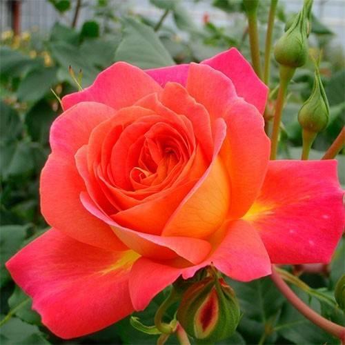 Выращиваем почвопокровную розу джаз в саду: рекомендации для начинающих