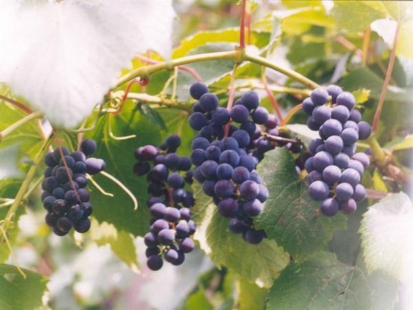 Виноград альфа: описание сорта, болезни и вредители, посадка и уход, характеристики и фото