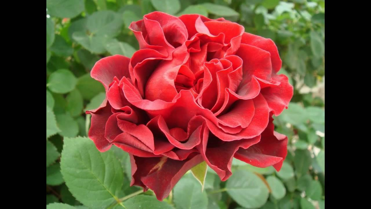Сорт розы эль торо фото