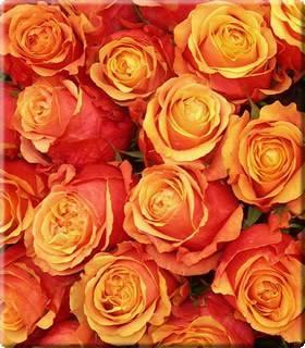 Роза cherry brandy черри бренди — отзывы. негативные, нейтральные и положительные отзывы