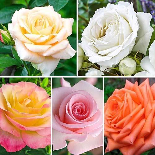 Роза самурай – элитный сорт-воин | о розе