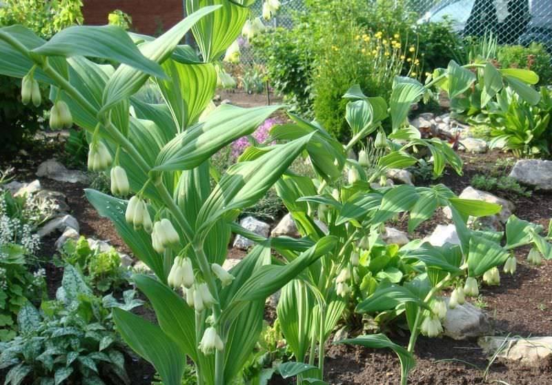 Купены (polygonatum): многоцветковые, душистые, цветок как у ландыша