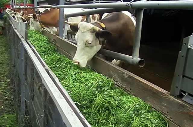 Как рассчитать сколько сена нужно корове на зиму