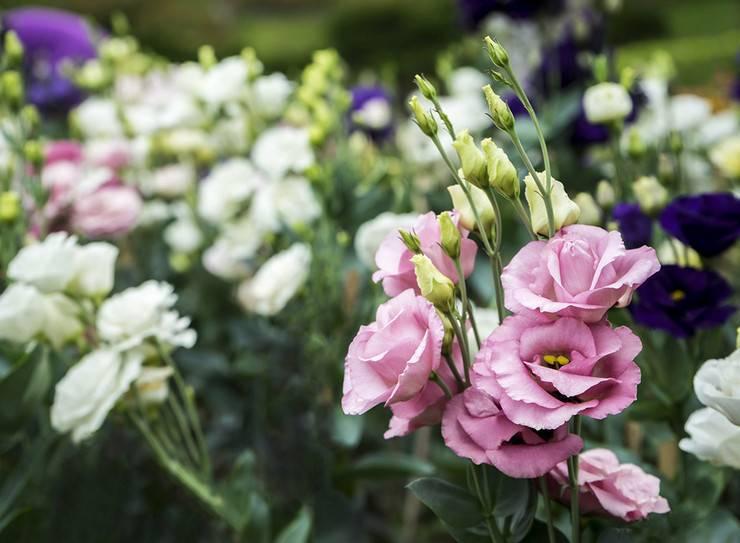 О посадке и уходе за эустомой, выращивание в открытом грунте и домашних условиях