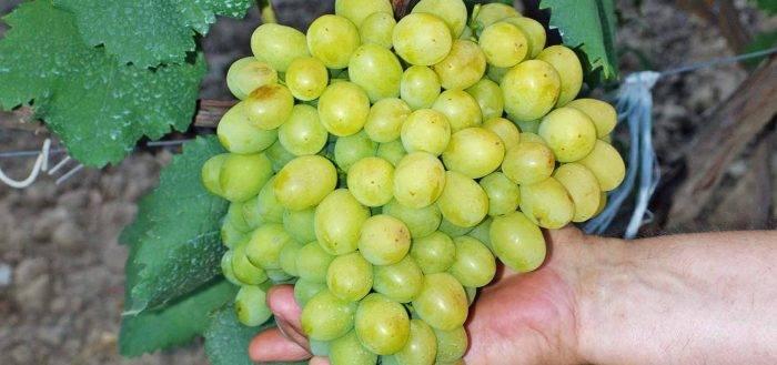 Закладка виноградников