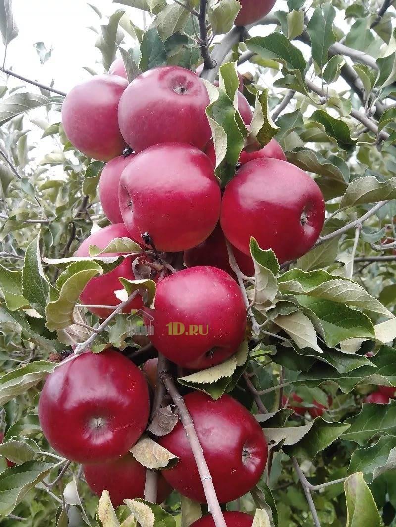 Макинтош (сорт яблони) — википедия