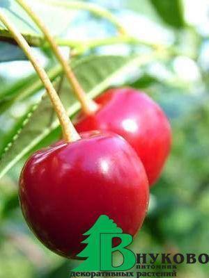 Описание и характеристики сорта вишни игрицкая, особенности выращивания и ухода